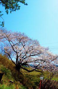 桜の木、下から